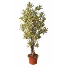 dracaena-boschetto-variegata-pianta-artificiale-h9307